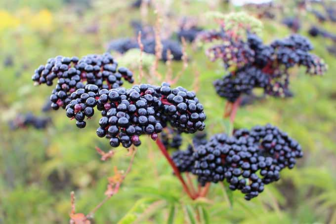 Choose-From-A-Number-of-Elderberry-Varieties