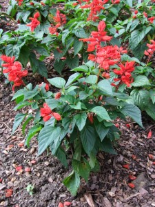 Salvia-splendens-vista-red
